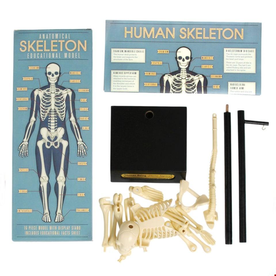 Anatomisch Skelet #1