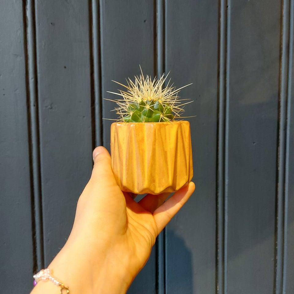 Cactus a sortie in gekleurde potjes #1