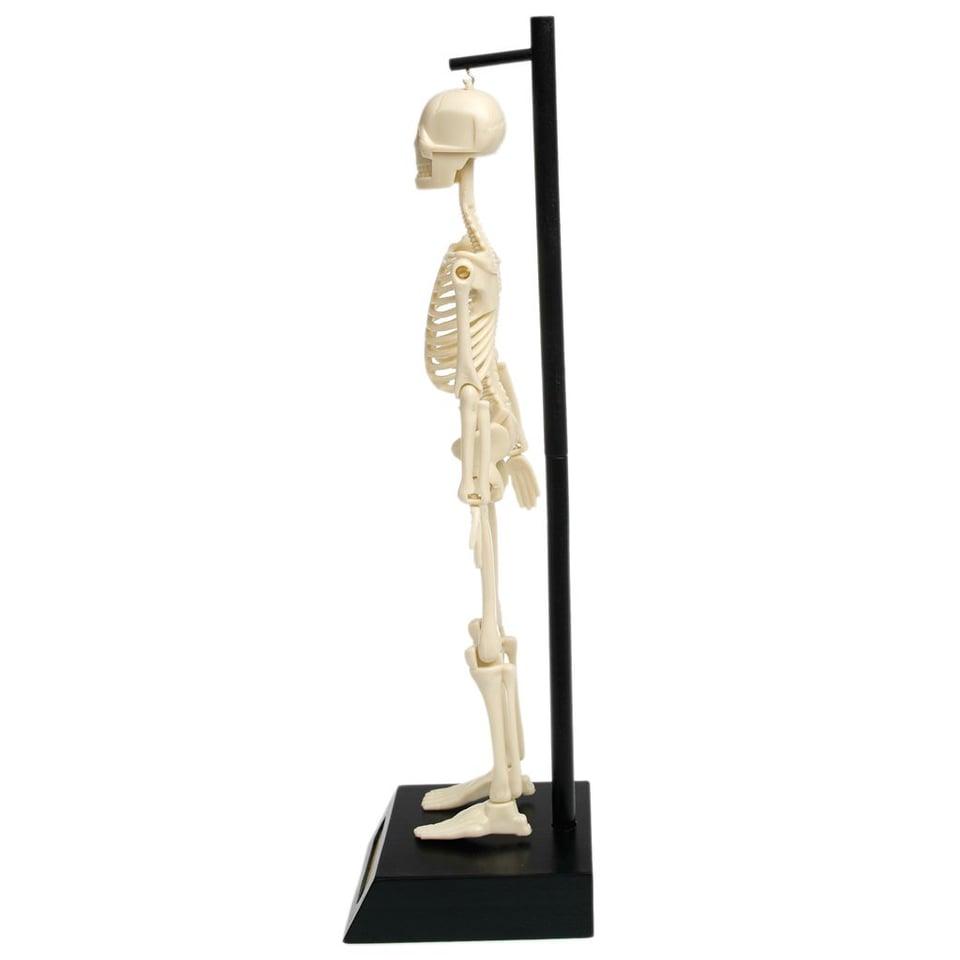 Anatomisch Skelet #2