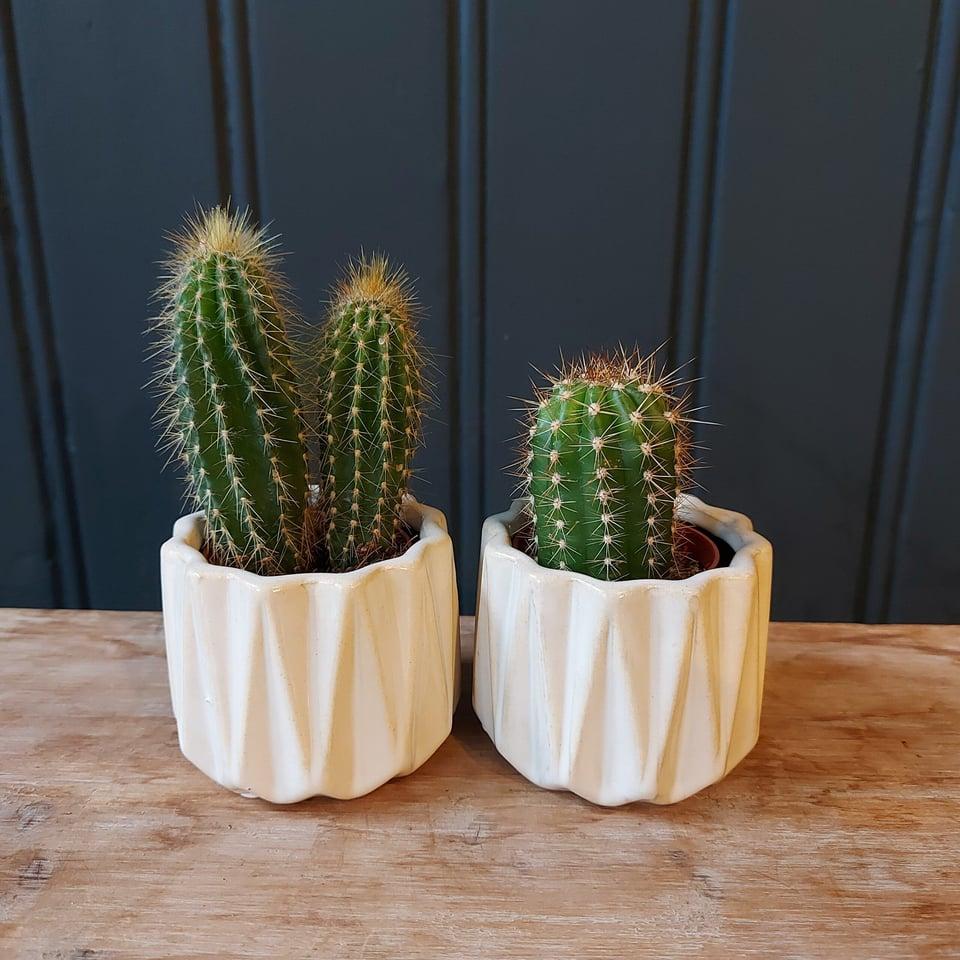 Cactus a sortie in gekleurde potjes #6