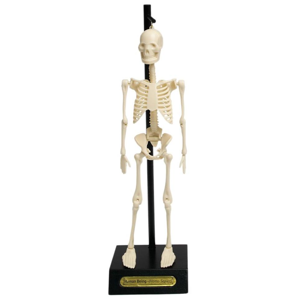 Anatomisch Skelet #3